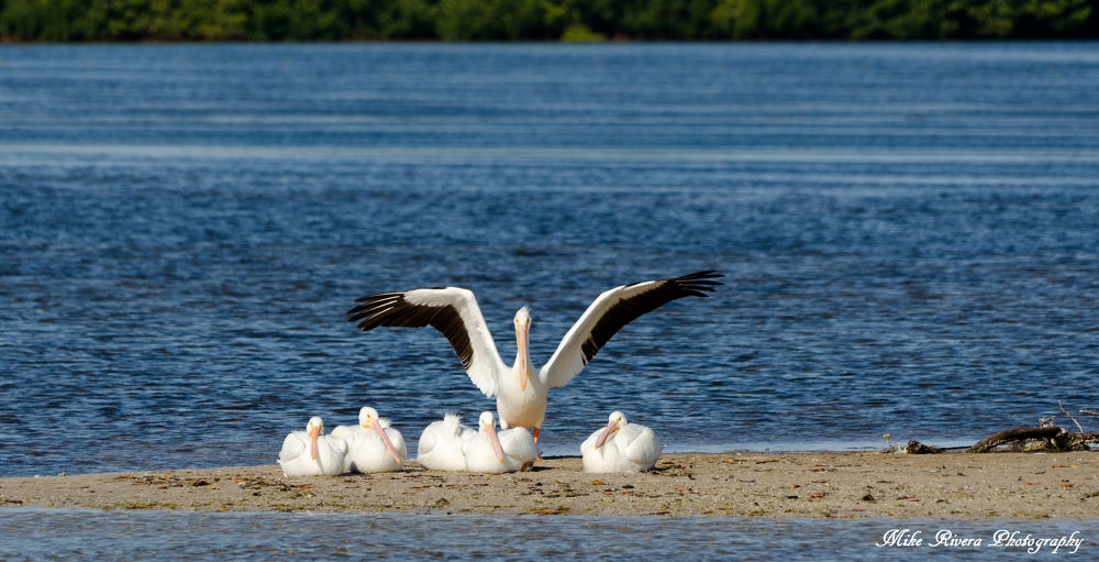 American White Pelican by Florida Wildlife Gallery