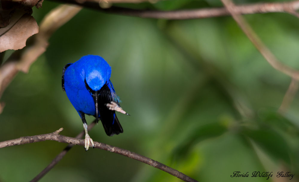 Male Yellow legged Honeycreeper by Florida Wildlife Gallery