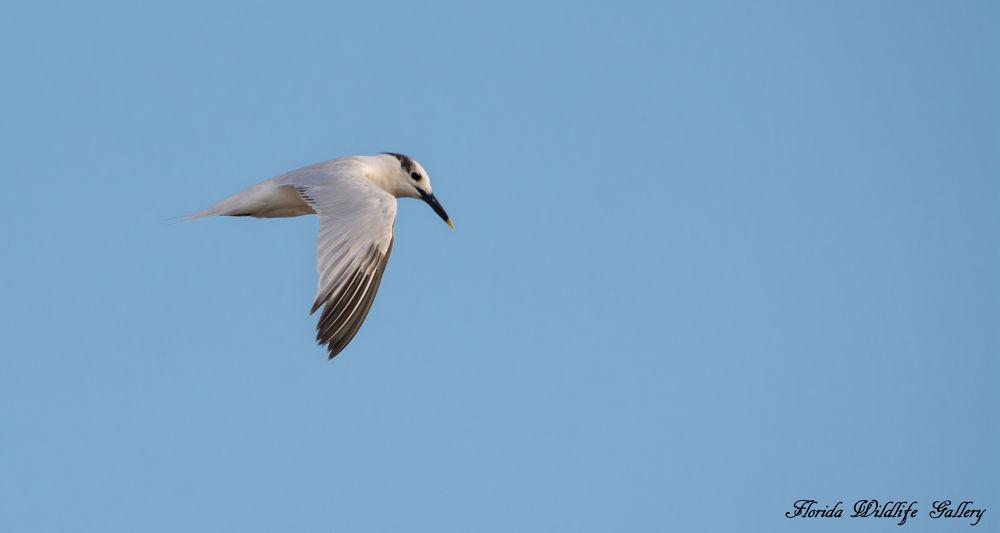 Royal Tern by Florida Wildlife Gallery