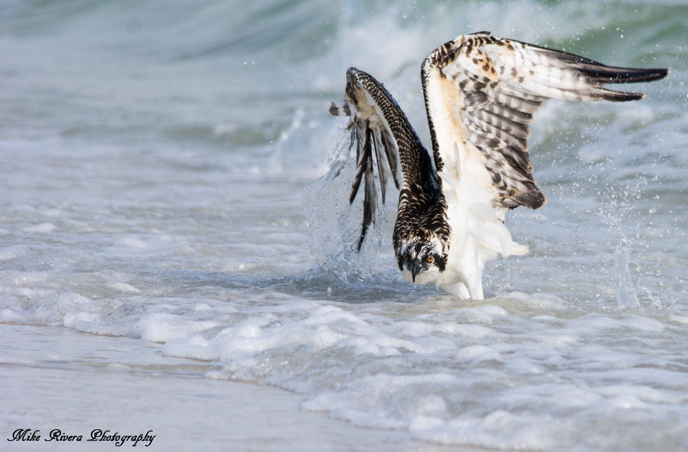 Osprey by Florida Wildlife Gallery