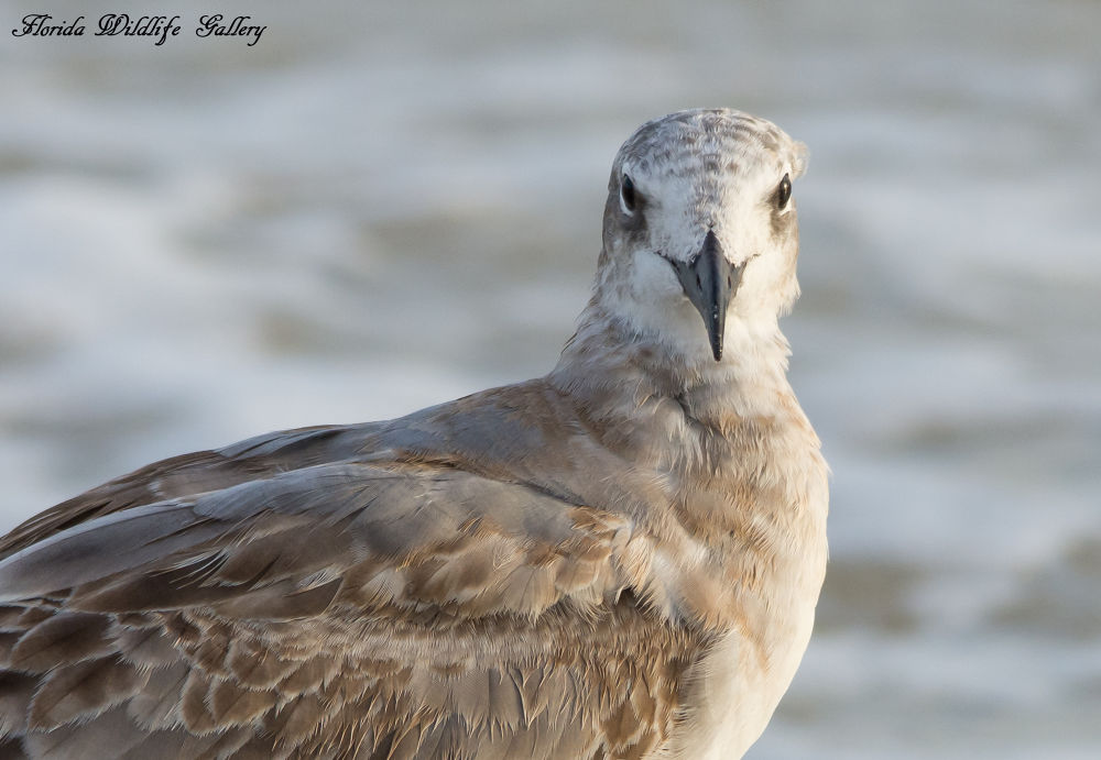 Juvenile Laughing Gull by Florida Wildlife Gallery