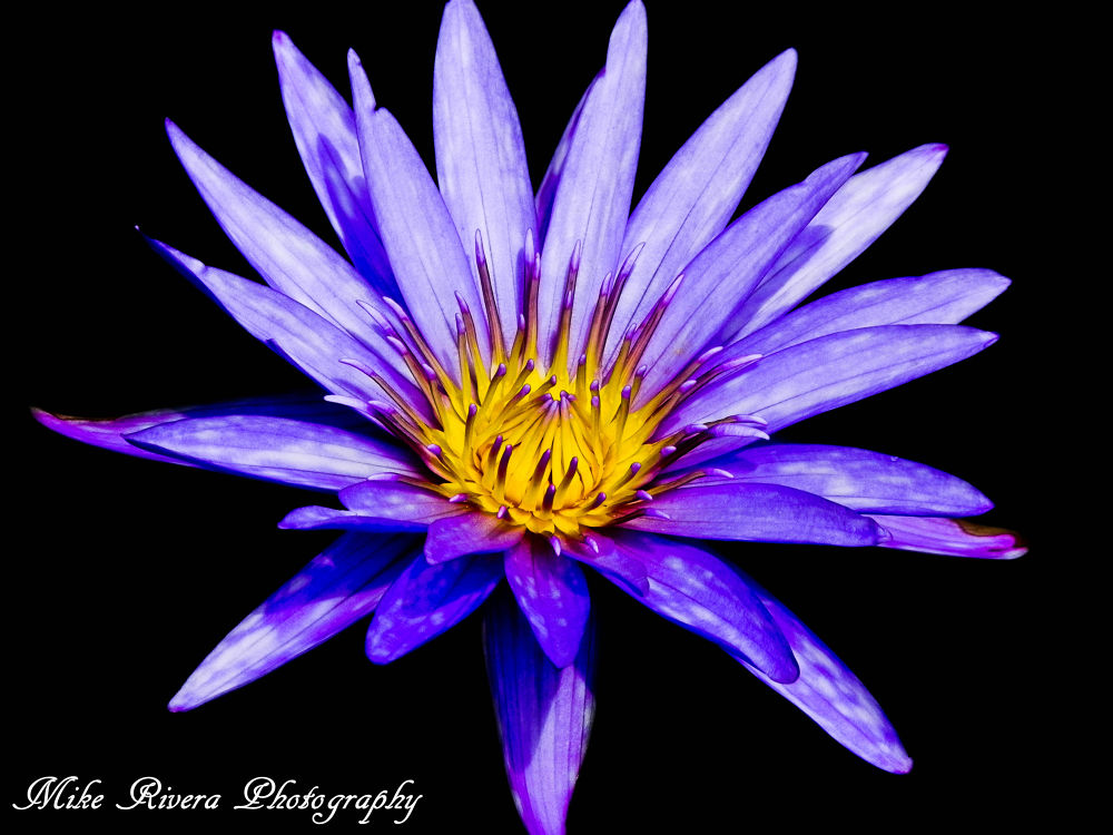 Waterlily  by Florida Wildlife Gallery