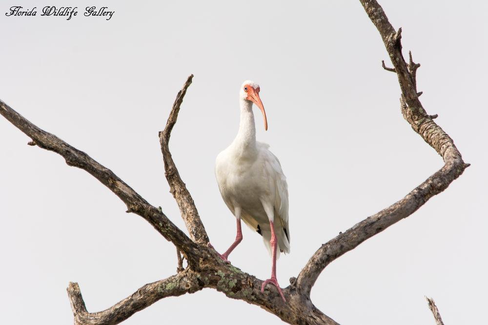 White Ibis by Florida Wildlife Gallery