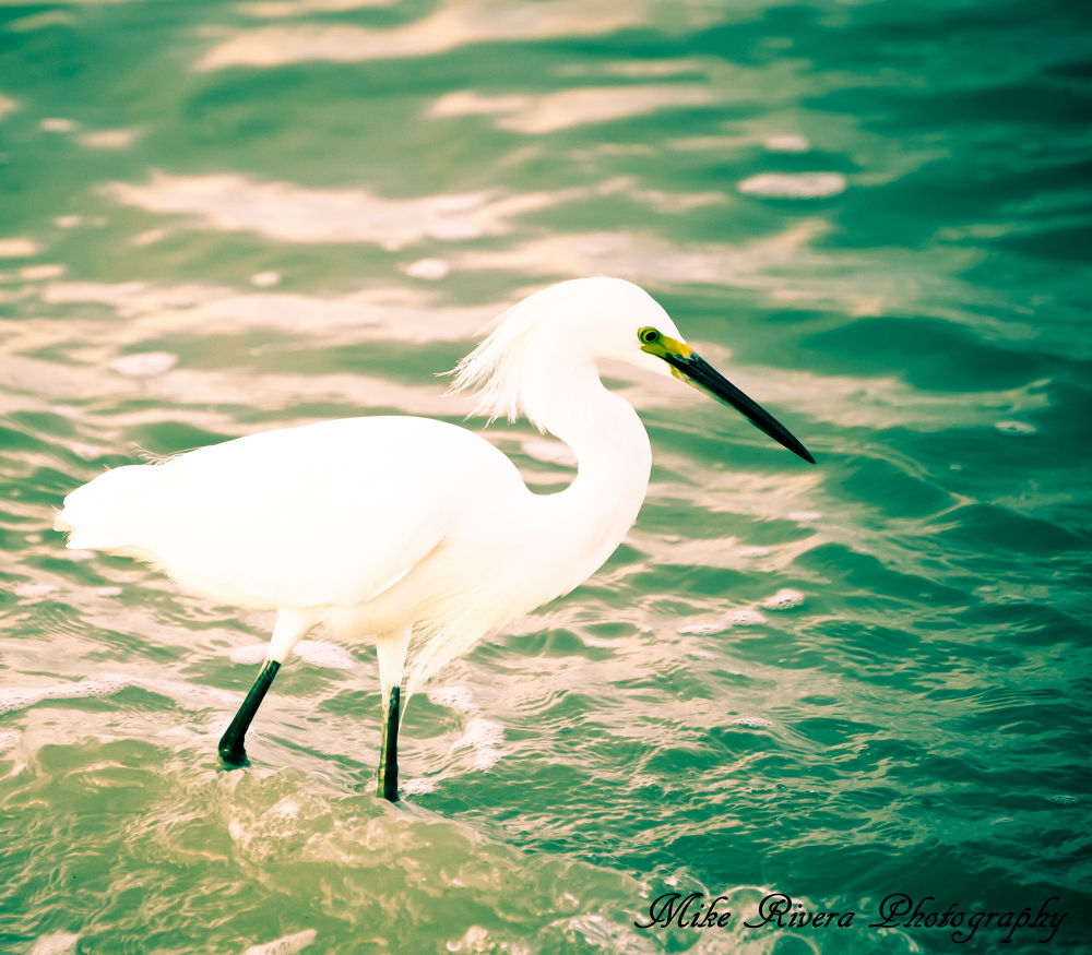 Snowy Egret by Florida Wildlife Gallery