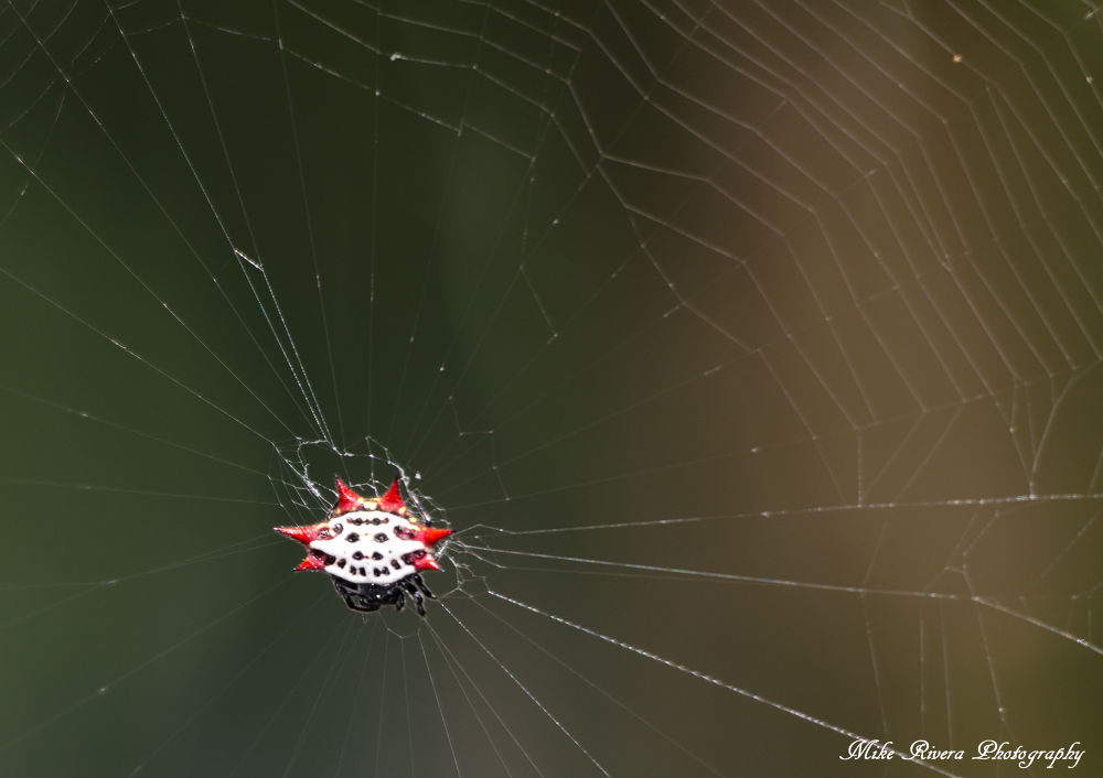 Crab-like Spiney Orb Weaver Spider by Florida Wildlife Gallery
