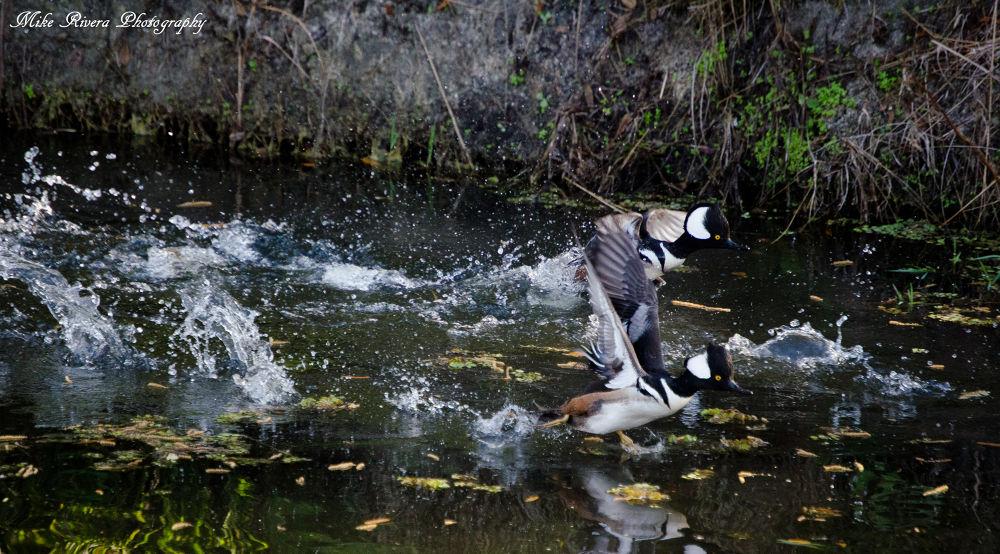 Mergansers by Florida Wildlife Gallery