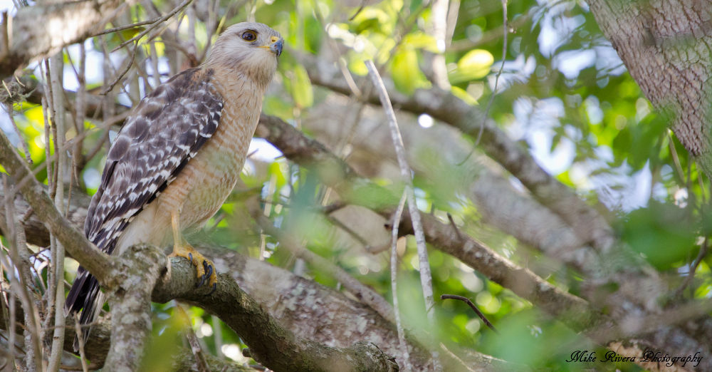 Red-shouldered Hawk by Florida Wildlife Gallery