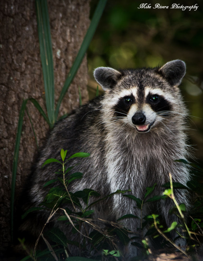 Raccoon by Florida Wildlife Gallery