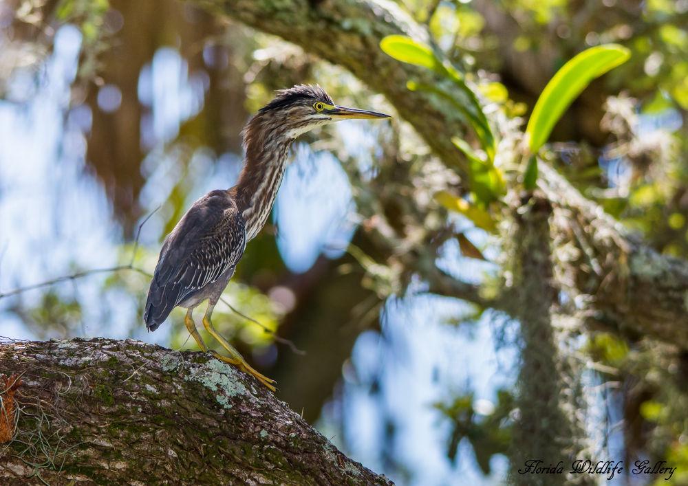 Green Heron by Florida Wildlife Gallery
