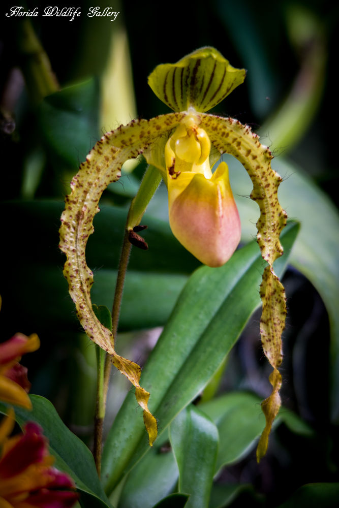 Orchids by Florida Wildlife Gallery