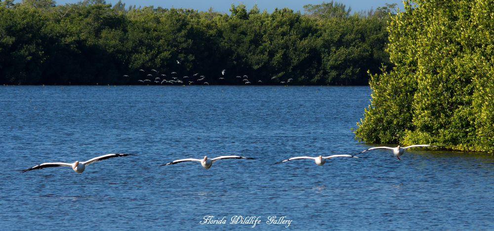 American White Pelicans by Florida Wildlife Gallery