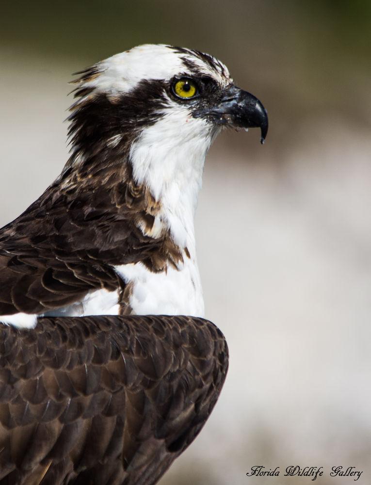 Osprey by Florida Wildlife Gallery