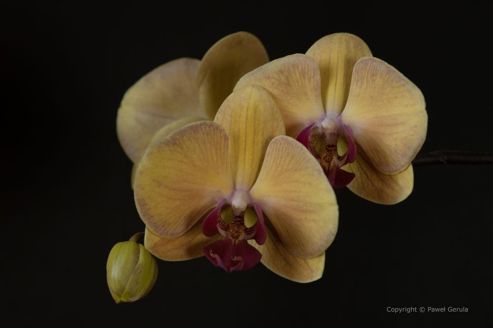 Phalaenopsis by Pawel Gerula