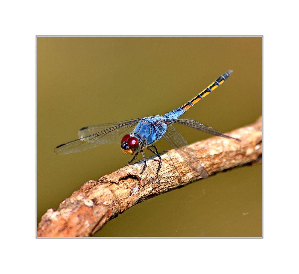 IMG_4796  - Dragonfly by jainmahmud