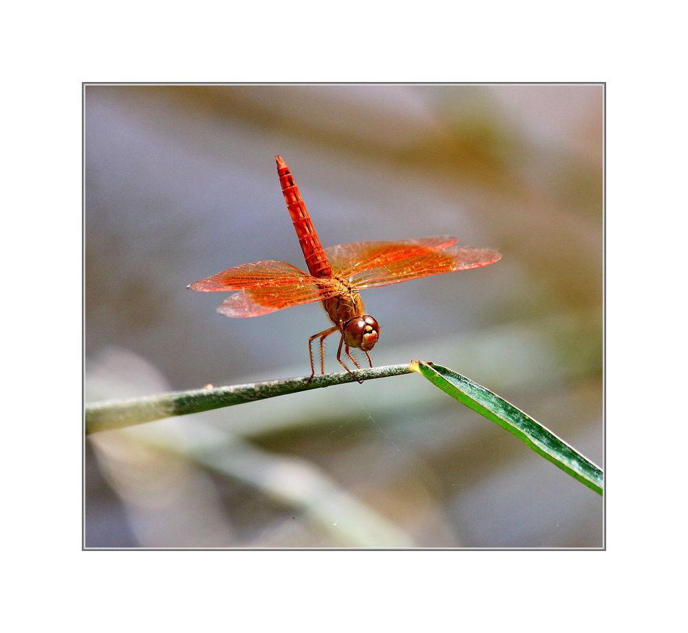 IMG_4823 - Dragonfly by jainmahmud