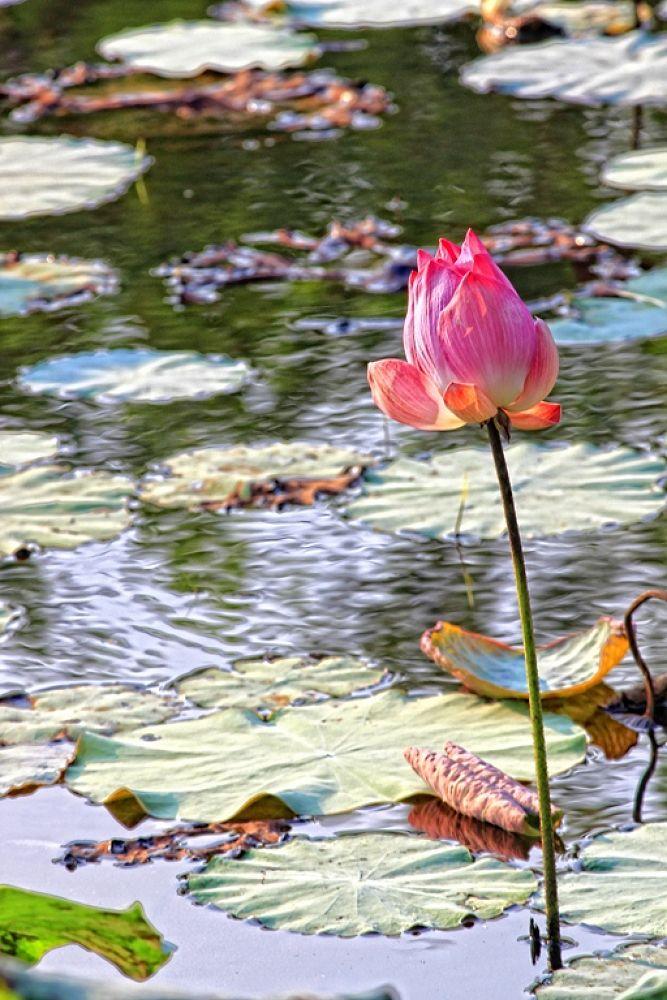 Photo in Random #nature #flower #lotus #nelumbo nucifera #close-up #malaysia #perak