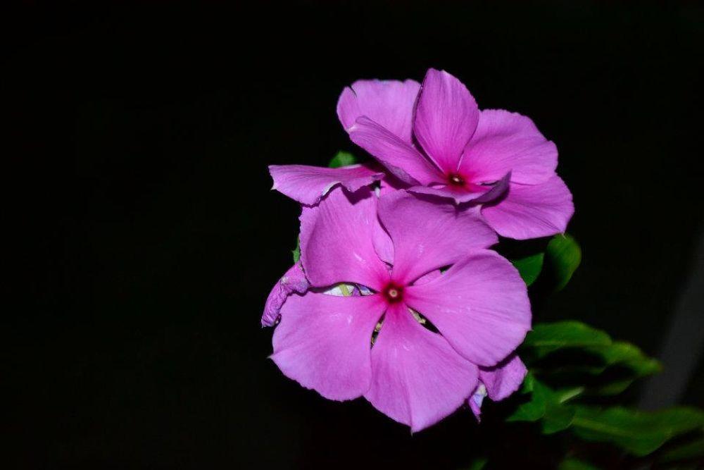 Purple Flower by alvinlianza