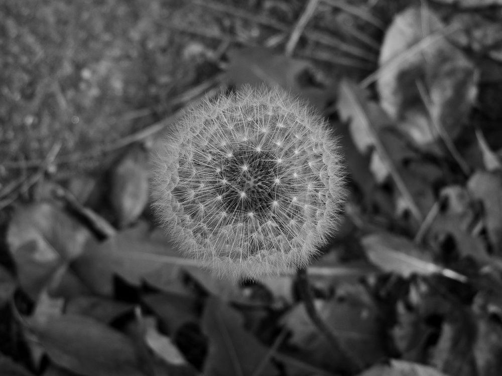 Dandelion Macro by kimballorama