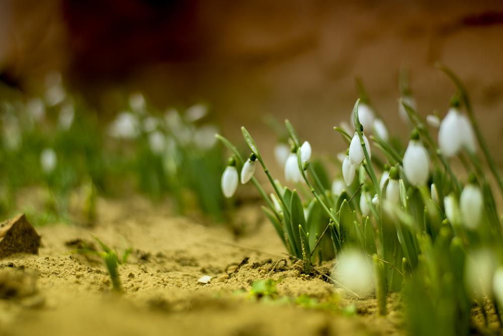 Photo in Nature #nature #garden #spring #winter #snowflower #plants #flower