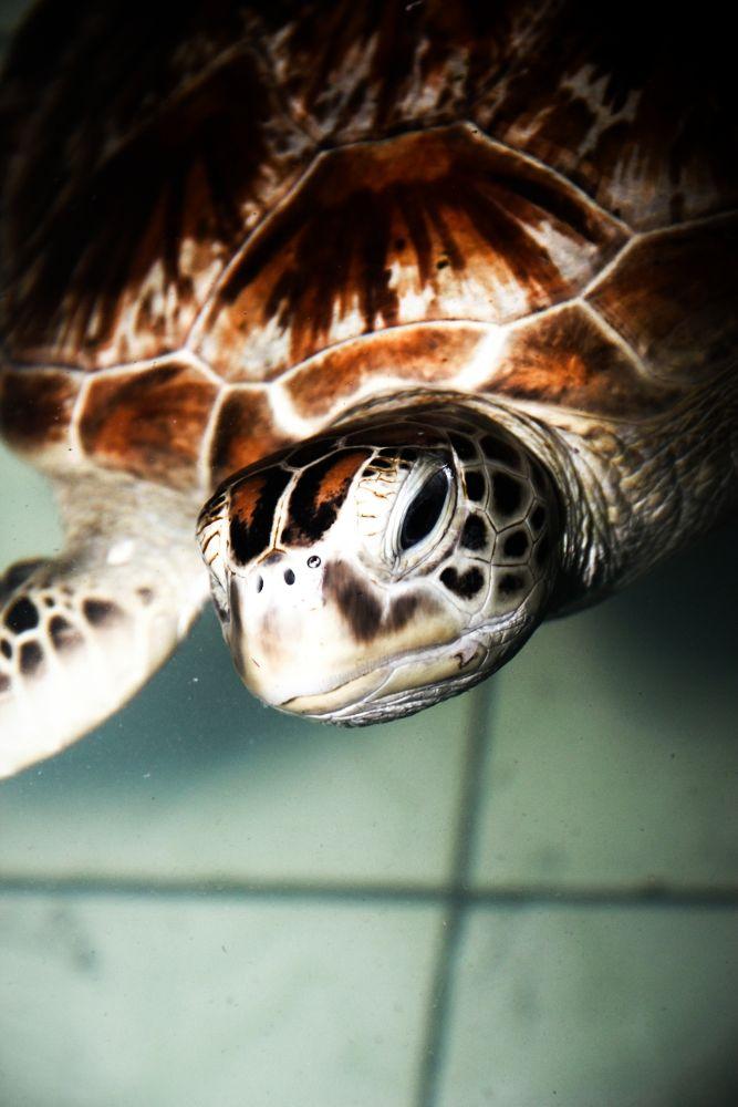 turtle on the beach of Pangandaran by Jemmy Yoel