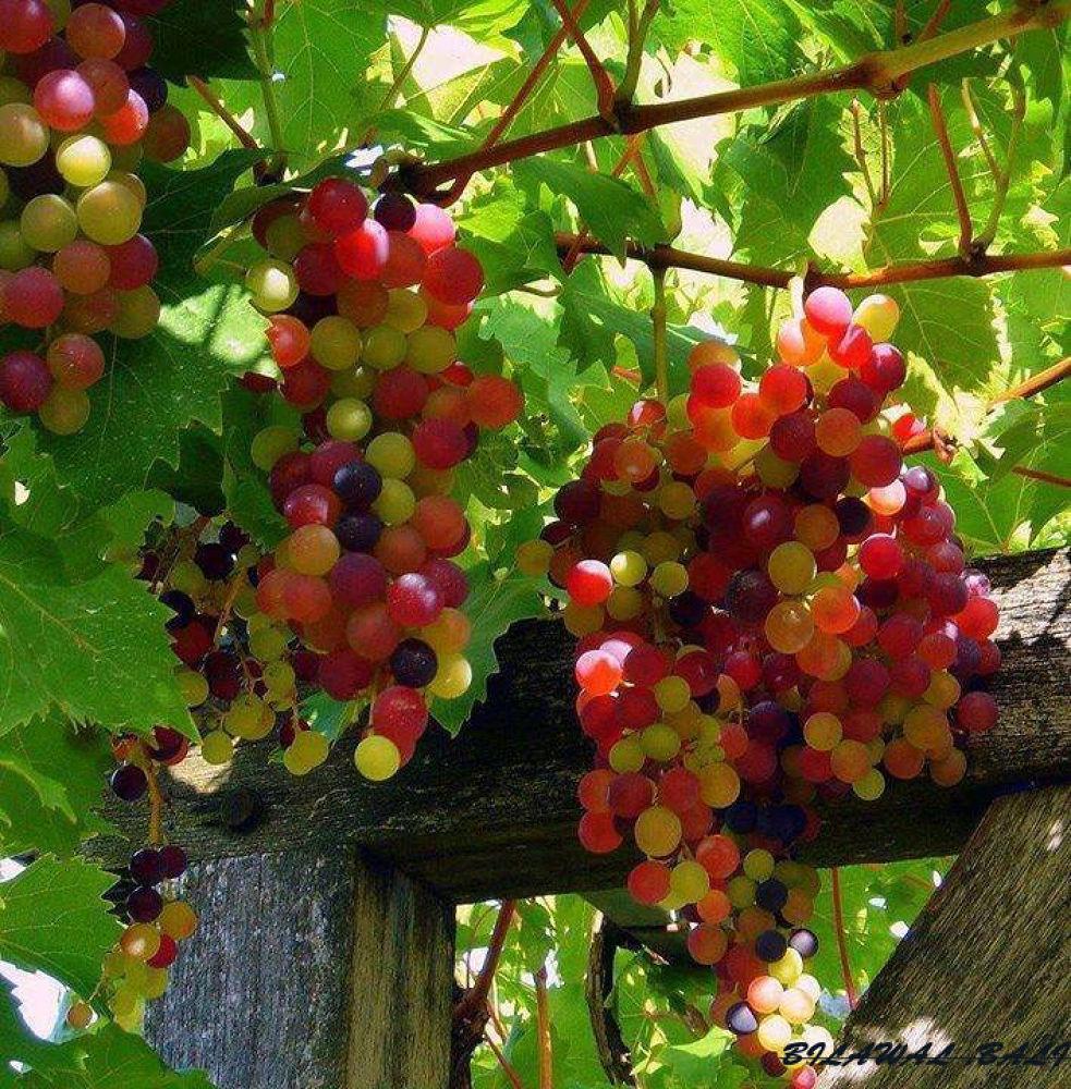 Rainbow Grapes by bilawalbali3