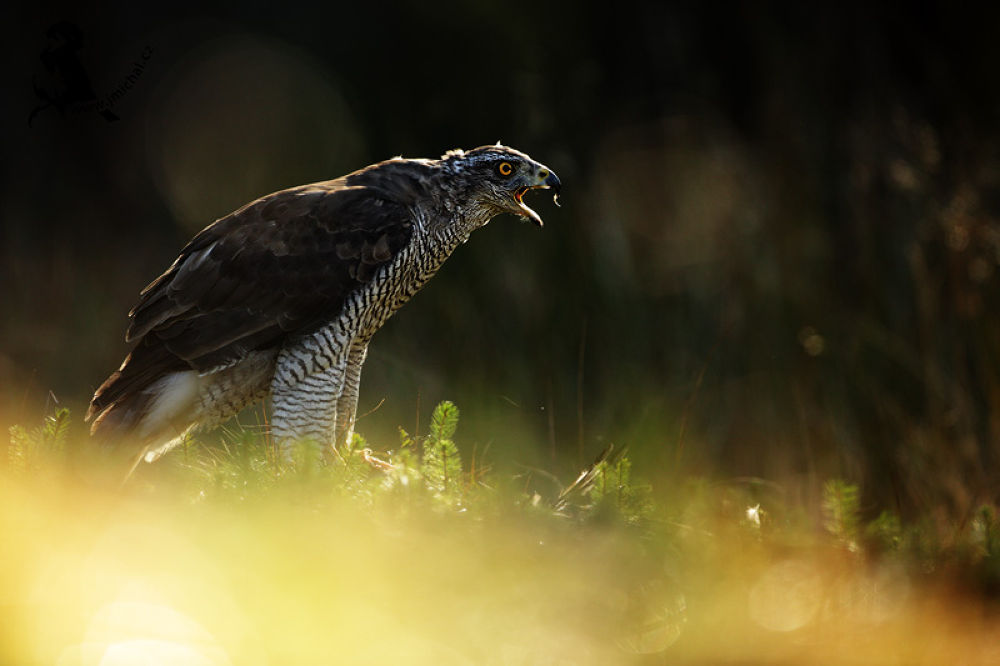 Northern Goshawk by MichalJiri