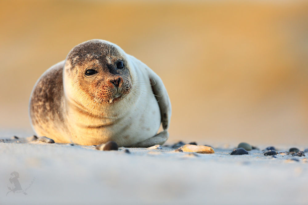 Harbor seal by MichalJiri