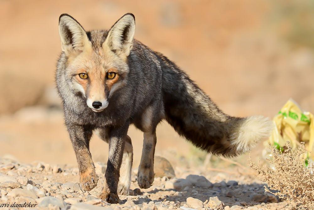 THE FOX by avidandeker
