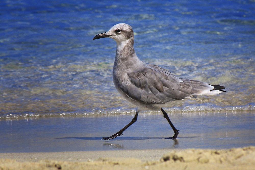 Strutting Seagull by Jorge Coromina