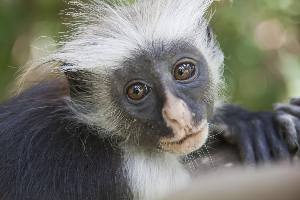 Red Colobus by Shimon Aluf