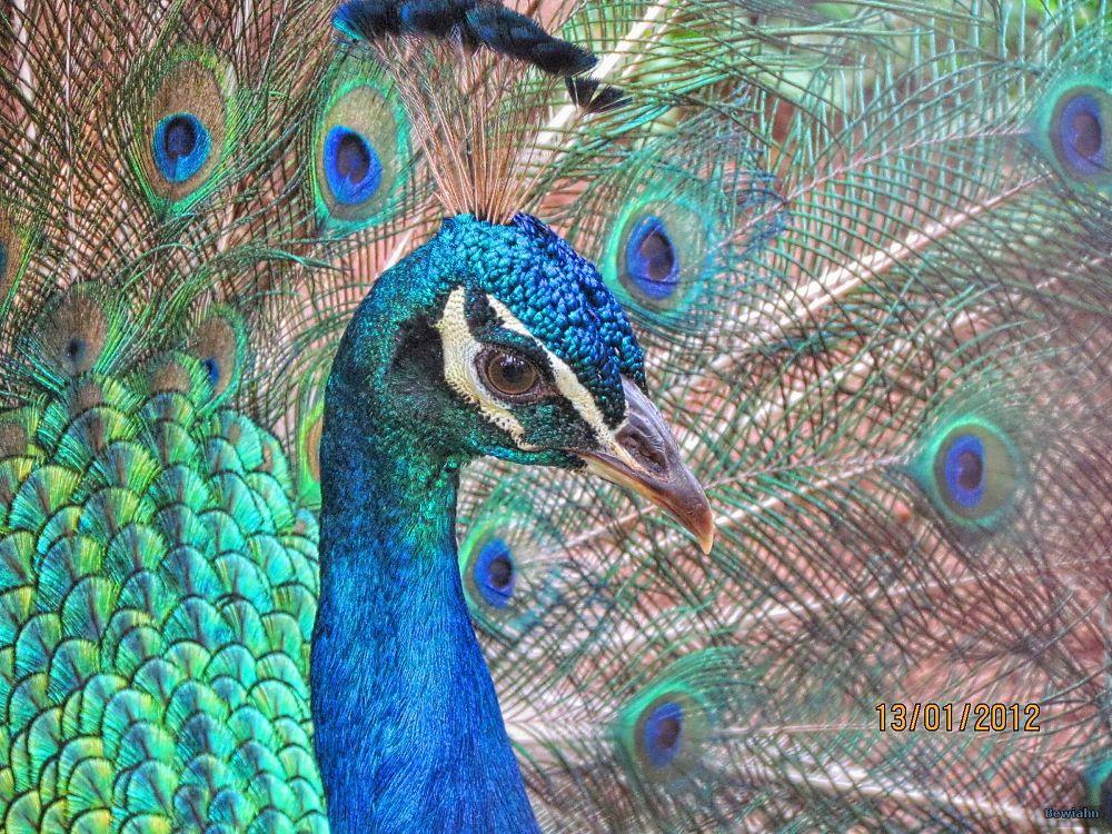 Peacock close by Nestor