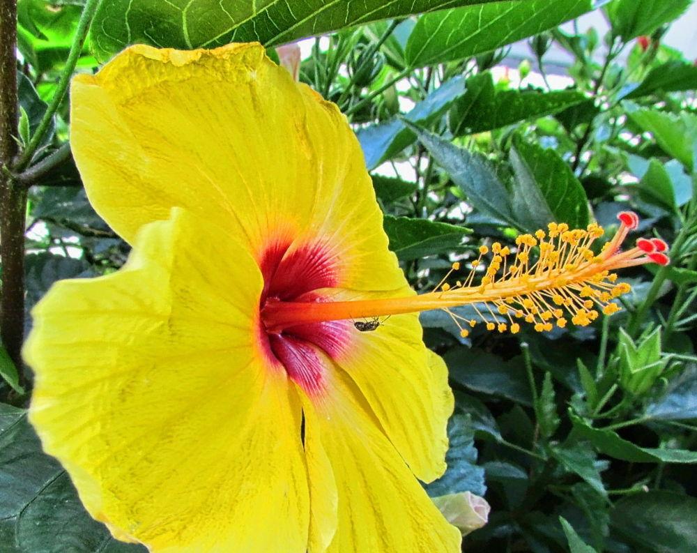 Yellow Hibiscus by Nestor