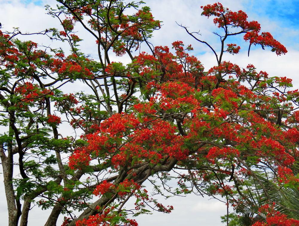 Flamboyant tree. by Nestor