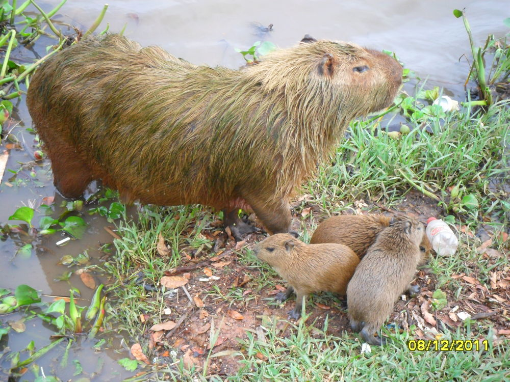 Capivara and puppies. by Nestor