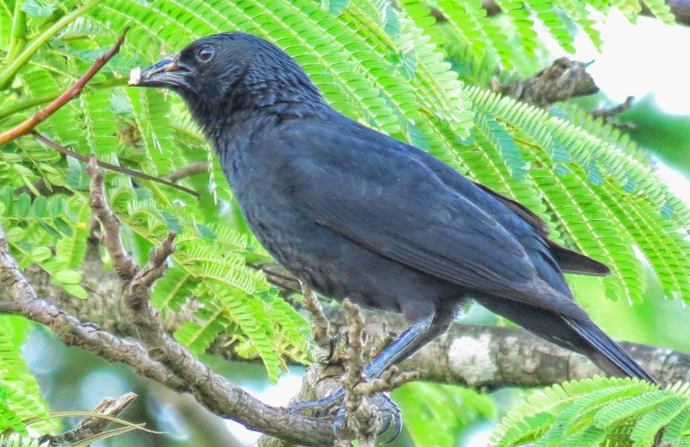 Black bird taking food at puppies by Nestor