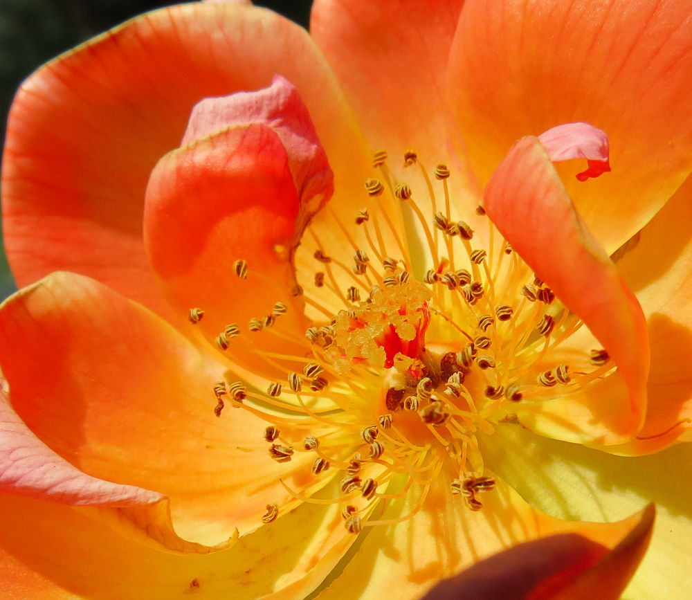Rose by Nestor