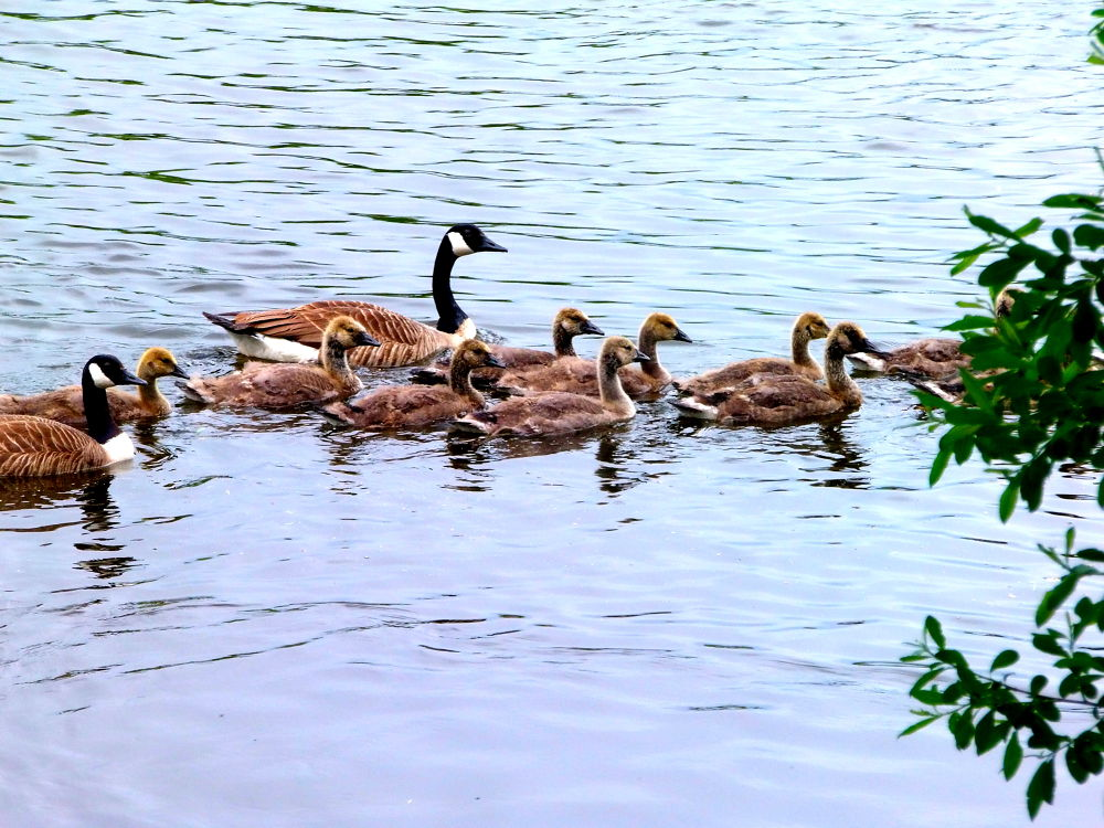 P6150072 canada geese family by craiggriffiths1485