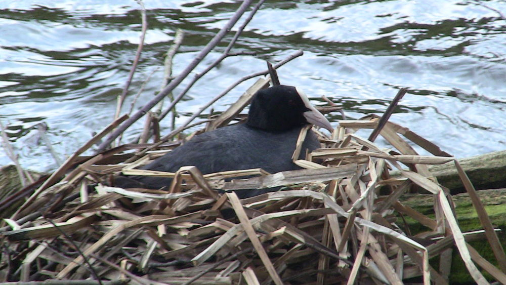 IMG_2433 coot in nest by craiggriffiths1485