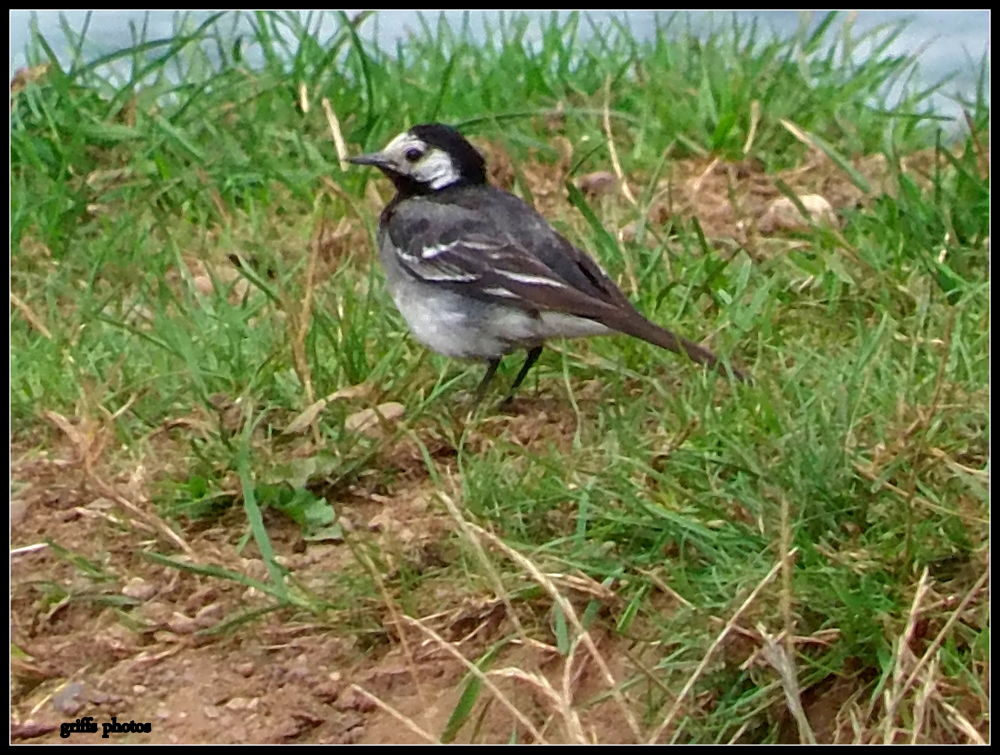 P7240027 wagtail by craiggriffiths1485