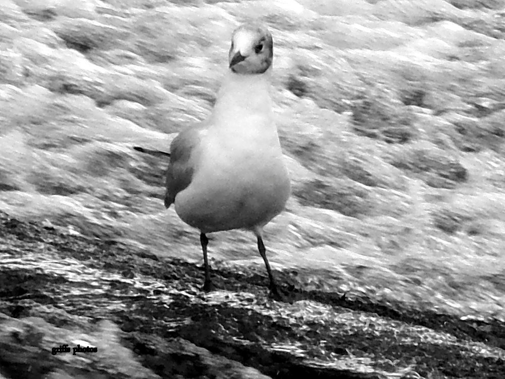 P7240034 gull on weir by craiggriffiths1485