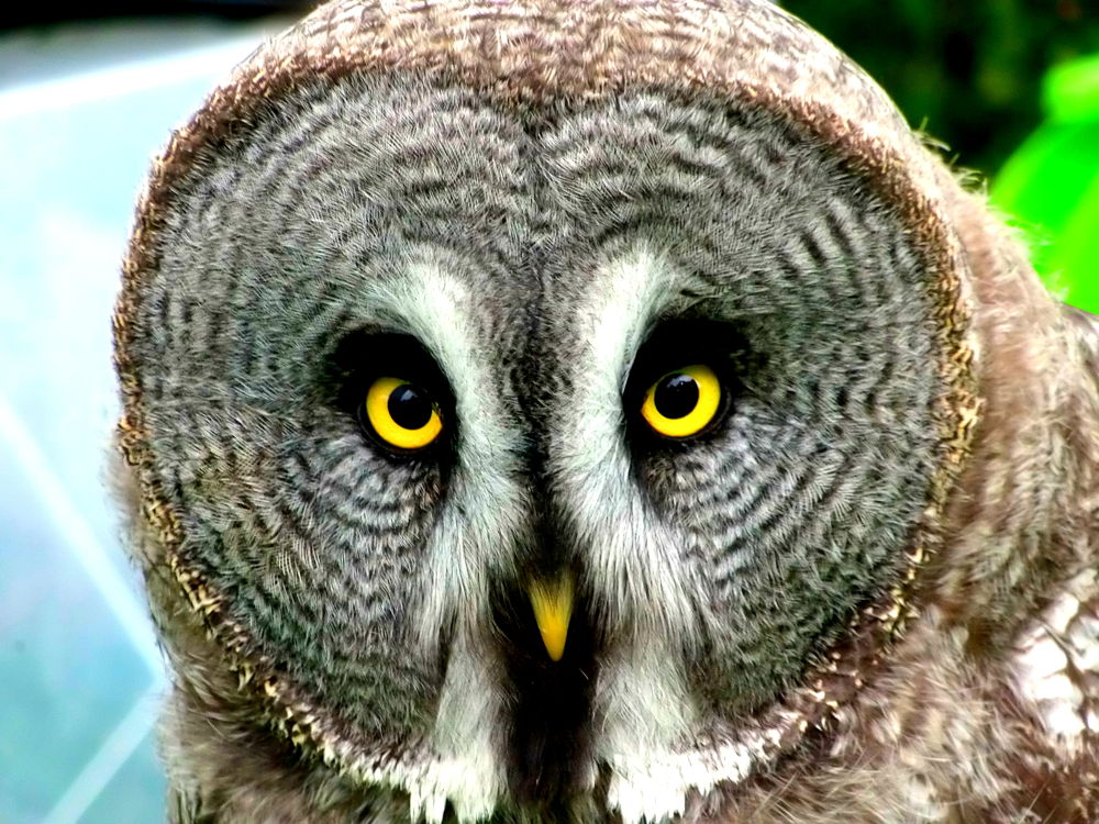 PA050050 gandalf the grey great owl by craiggriffiths1485