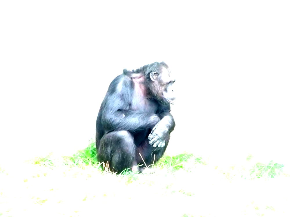 chimp in light by craiggriffiths1485