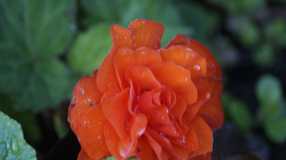 droplets on flower by craiggriffiths1485
