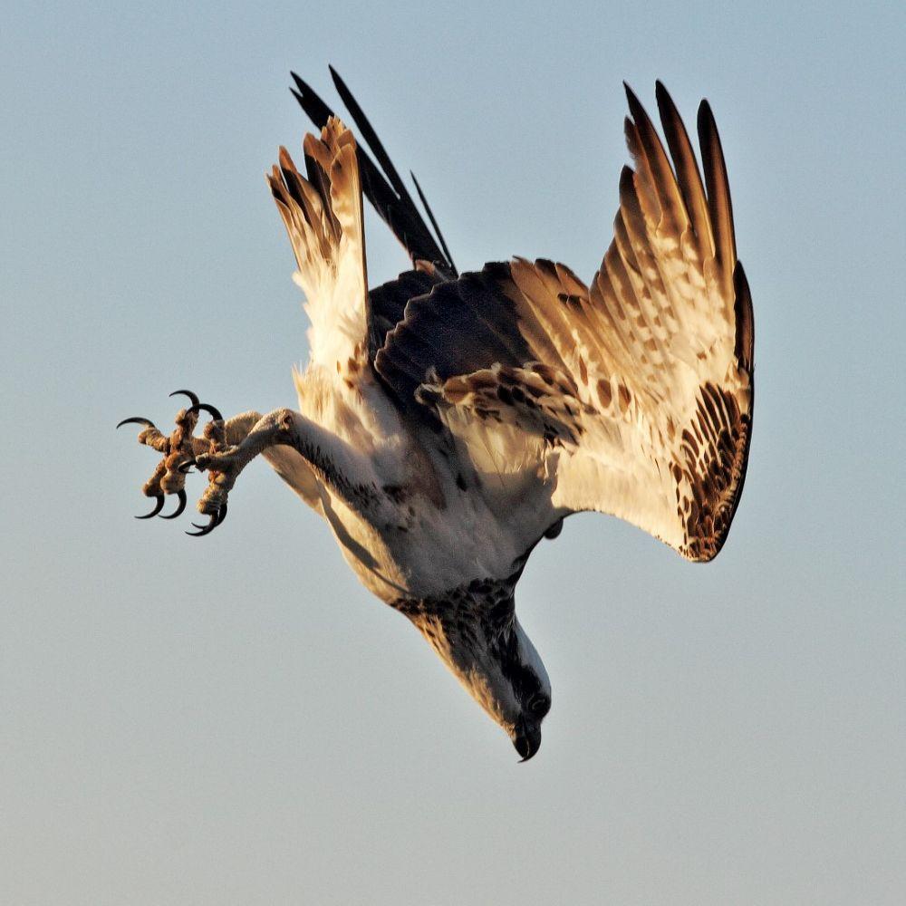 Osprey diving by Howard Ferrier