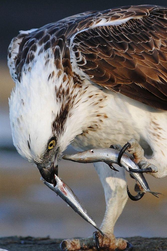 Photo in Random #beak #osprey #caloundra #queensland #eating #fish #talons #claws
