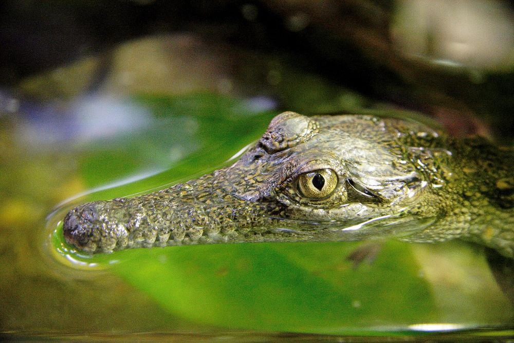 Photo in Animal #crocodile #baby #infant #water #eyes #floating #snout #green