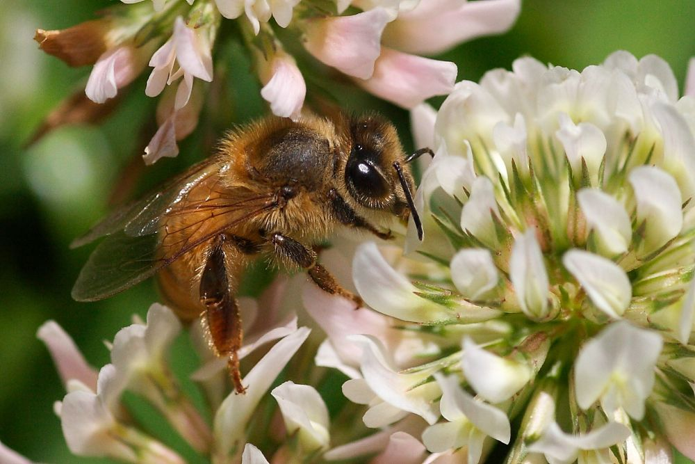 Honey bee at work by Howard Ferrier