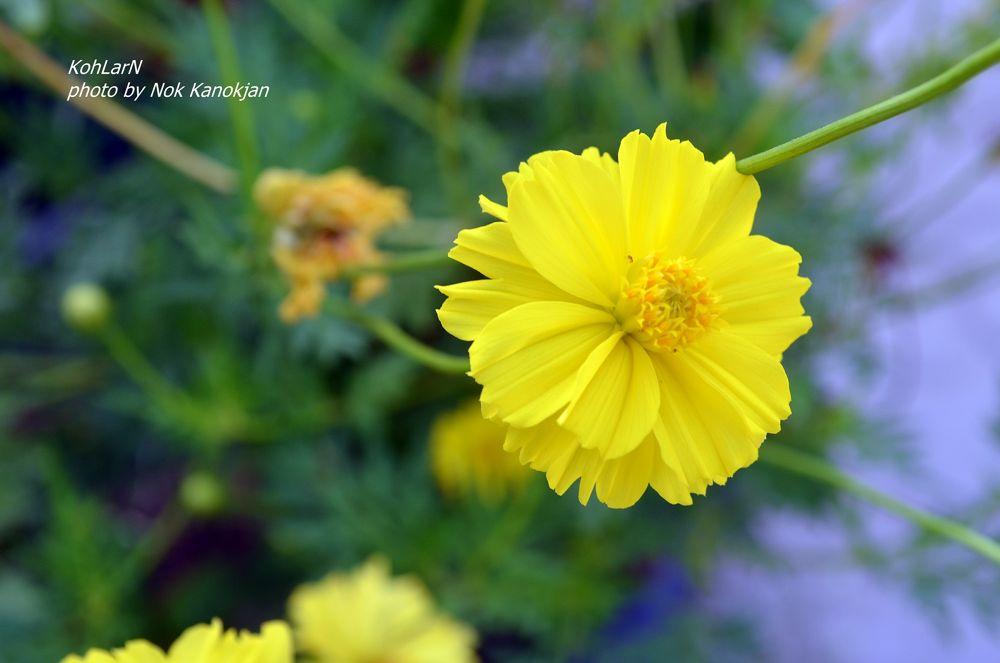 my flower  by Nok Kanokjan