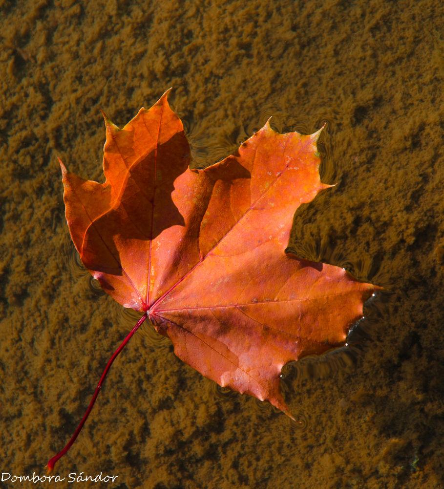 Leaf by Sándor Dombora