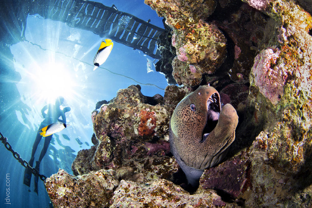 Photo in Random #giant moray #moray #underwater #jacques de vos #jdvos.com #diver #ikelite #snells window #red sea #egypt #sinai #sharm el sheikh